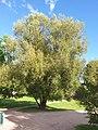 Salix alba in Frognerparken, Oslo, Norway, 2020.jpg