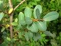 Salix caesia-MW0303087-live-3.tif