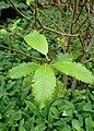 Salix discolor kz1.jpg