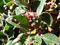 Salix sp with Eriophyidae galls upernavik 2.jpg