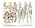 Salmonsens konversationsleksikon - Foder-Bælgplanter, Foder-Græsser.jpg