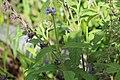 Salvia bogotensis.jpg