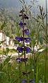 Salvia pratensis (5987828530).jpg