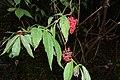 Sambucus racemosa (8016825610).jpg