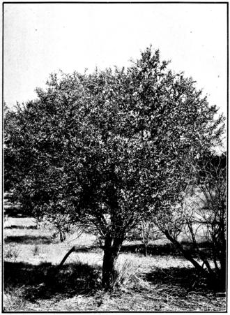 Santalum spicatum - A mature tree, circa 1920