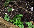 Sanguinaria canadensis - Flickr - peganum (1).jpg