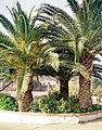 Sanlúcar de Guadiana, the four palm trees.jpg