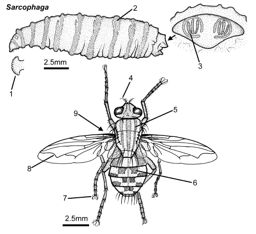 Sarcophaga-larva-adult-revised.png