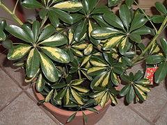 A variegated cultivar of Schefflera arboricola