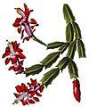 Schlumbergera truncata BlKakteenT25.jpg