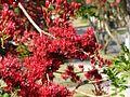 Schotia brachypetala - 'Drunk Parrot Tree' (3952357393).jpg