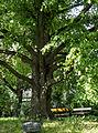 Schubertpark Winterlinde.jpg