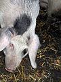 Schwein-IMG 3137.JPG