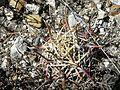 Sclerocactus mathsonii (5740349873).jpg