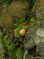 Scleroderma citrinum (4501190785).jpg