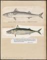 Scomber scomber - 1700-1880 - Print - Iconographia Zoologica - Special Collections University of Amsterdam - UBA01 IZ13500178.tif