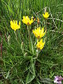 Scorzonera humilis - Aubrac.jpg