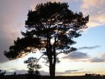 File:Scots pine tree at Stephill Bottom, New Forest - geograph.org.uk - 291797.jpg