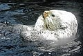 Sea Otter (Aleutian islands) (5262932852).jpg