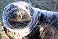 Seal - Donna Nook December 2009 (4188868936).jpg