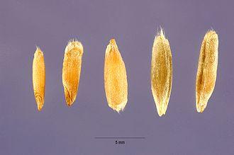Rye - Some different types of rye grain