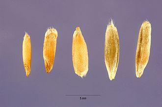 Rye - Some different types of rye grain