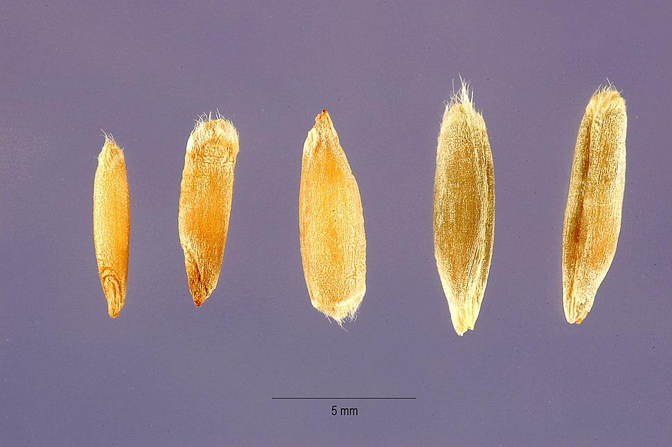 Secale cereale - cereal rye - Steve Hurst USDA-NRCS PLANTS Database