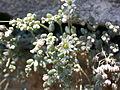 Sedum dasyphyllum Suedrampe.JPG