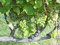 Semillon grapes on the vine.jpg