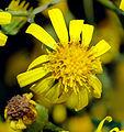 Senecio erucifolius - blossom (aka).jpg