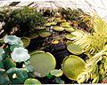 September Victoria Regia Amazonas Botanischer Garten Berlin - Botany Photography 1989 - panoramio.jpg