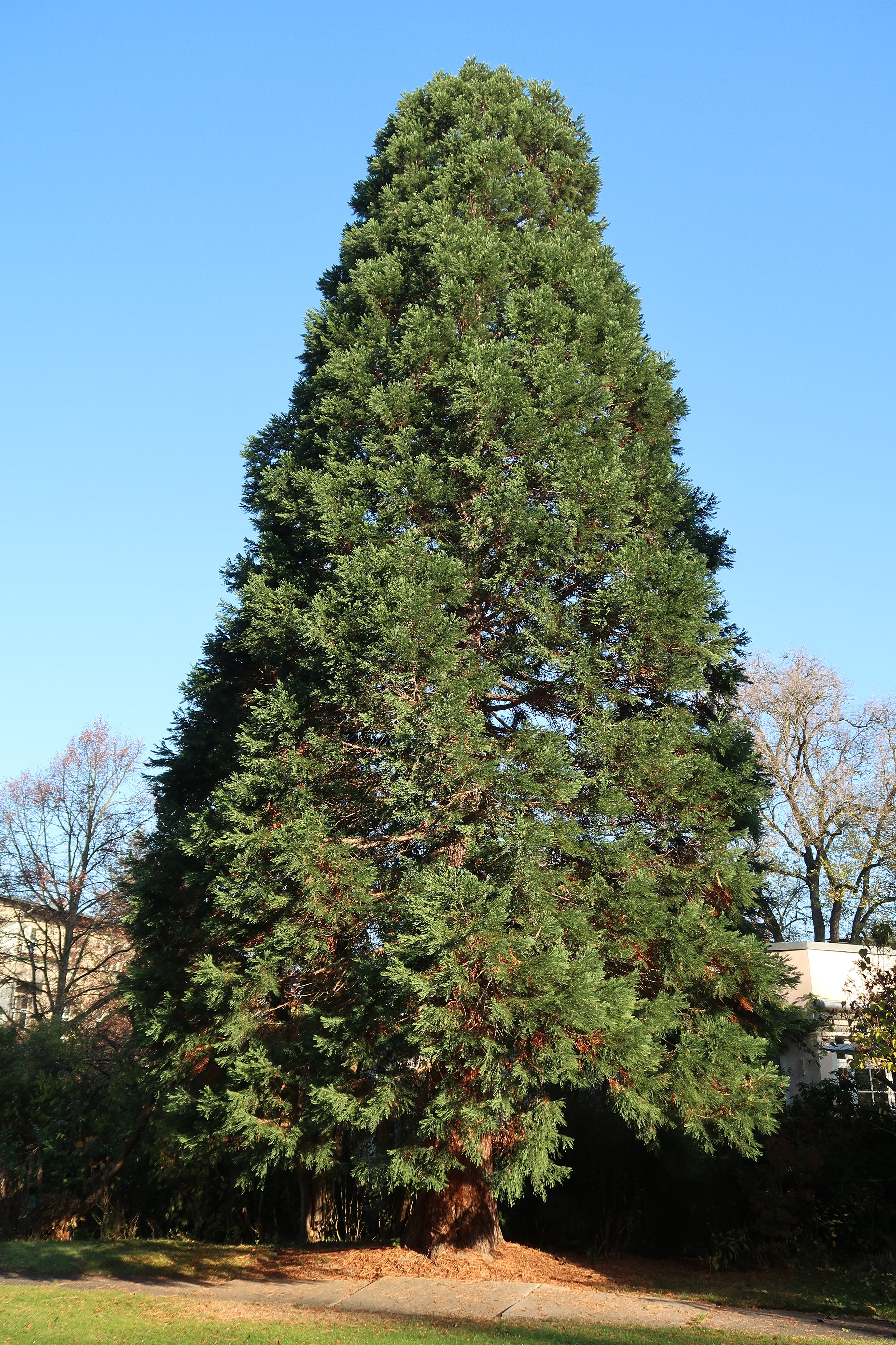 file sequoiadendron giganteum riesenmammutbaum in privatem garten in berlin. Black Bedroom Furniture Sets. Home Design Ideas