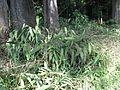 Setaria palmifolia habit5 (7411094040).jpg