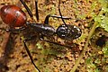 Shattuck 53928, Camponotus gigas, Danum Valley, Sabah-web (5042977436) (2).jpg