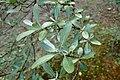 Shepherdia argentea kz01.jpg