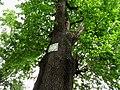 Shurun Quercus2.JPG
