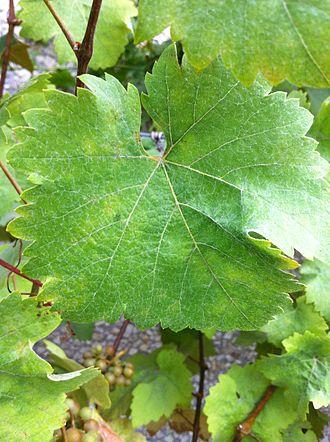 Siegerrebe - Siegerrebe leaf
