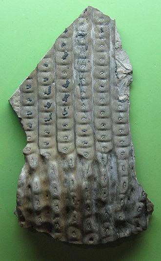Sigillaria - Image: Sigillaria 1