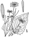 Silphium perfoliatum-linedrawingBB.png