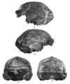 Sinanthropus Skull XI.png