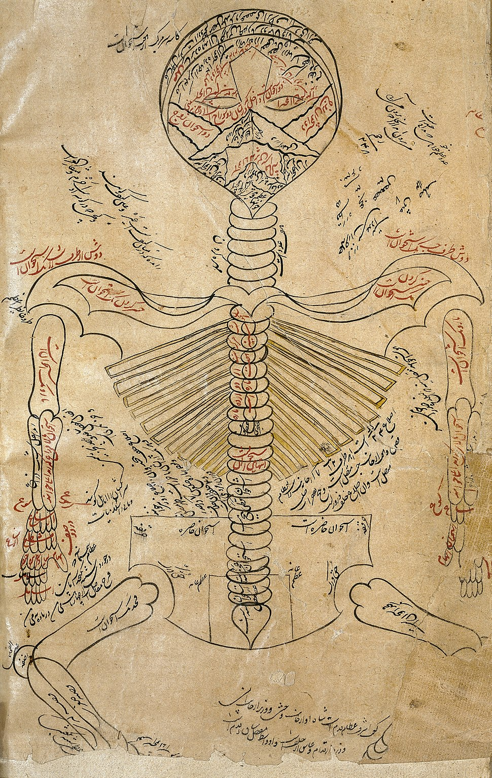 Skeleton system., Avicenna, Canon of Medicine Wellcome L0013314