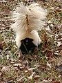 Skunk4 (6331031098).jpg
