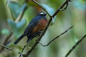 Slaty-backed Chat-Tyrant - South Ecuador S4E2448.jpg