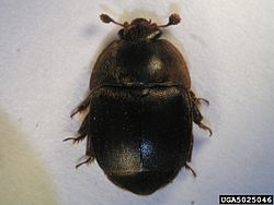 Small hive beetle.jpg