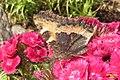 Small tortoiseshell (Jiz) (14626238773).jpg