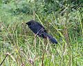 Smooth-Billed Ani. Crotophaga ani - Flickr - gailhampshire (1).jpg