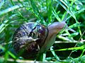 Snail in grass.jpg