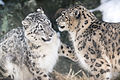Snow Leopards Playing (12785649014).jpg