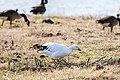 Snow goose (39501056954).jpg