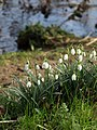 Snowdrops by the Teign - geograph.org.uk - 1172924.jpg
